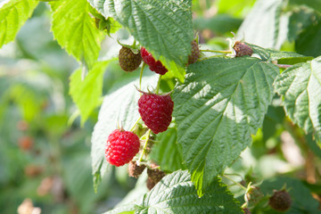 Ripe and unripe raspberry in the fruit garden. Growing natural bush of raspberry. Branch of raspberry in sunlight..