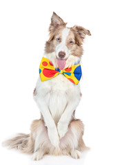 Border collie dog wearing funny tie bow stand on hind legs. isolated on white background