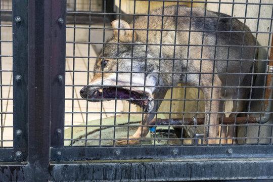 狂犬病にかかっているように見える檻の中の狼