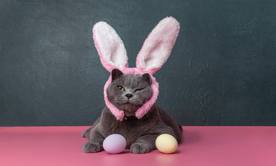british cat with bunny bite from easter eggs