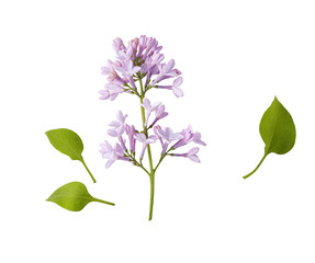 Wall Murals Lilac Branch of lilac flowers isolated on white background