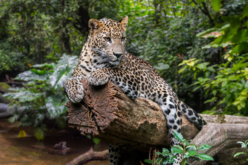 Sri Lankan leopard in rain forest, native to Sri Lanka