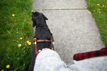 Seeing eye dog leading visually impaired woman walking on sidewalk