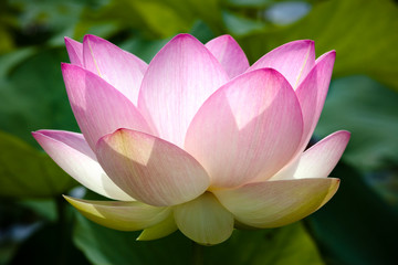 Garden Poster Lotus flower pink lotus flower in bloom with leafy green background