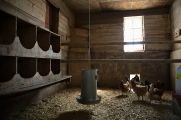 Chickens and coop in barn