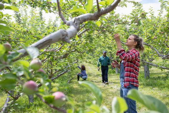 Female farmer checking apple trees in orchard
