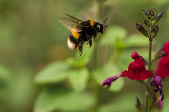 Buff-tailed Bumblebee (Bombus terrestris) in flight
