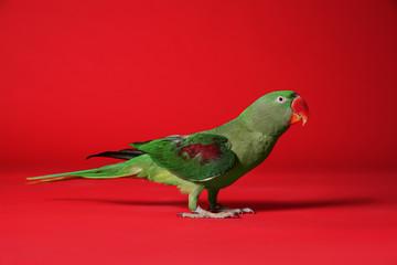 Beautiful green Alexandrine Parakeet on red background