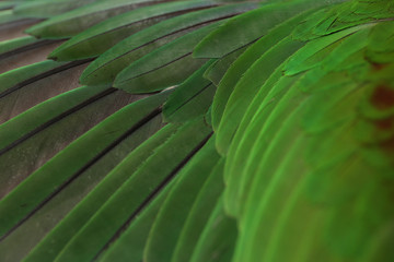 Colorful feathers of Alexandrine Parakeet as background, closeup