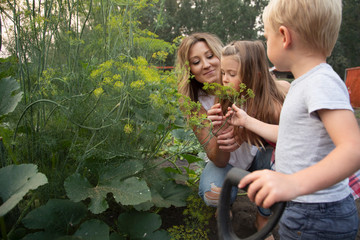 Mother and children picking fresh dill in vegetable garden