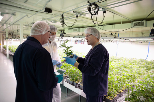 Growers inspecting cannabis seedlings in incubation