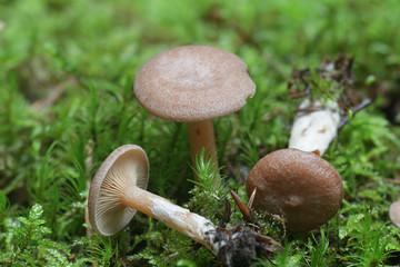 Lactarius glyciosmus, known as the coconut scented milk cap or  coconut milkcap, wild mushrooms...