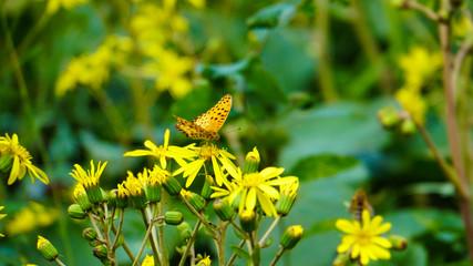 ヒョウモン蝶と黄色の花ツワブキ