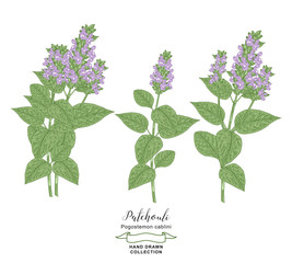 Patchouli plant branches with leaves and flowers isolated on white background. Medical herbs hand drawn. Colorful vector illustration. Detailed sketch style.