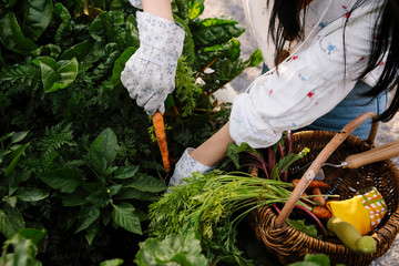 Young woman harvesting fresh carrots in garden