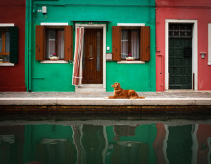 Dog in the colored house of Burano in Italy. Nova Scotia Duck Tolling Retriever in the background...