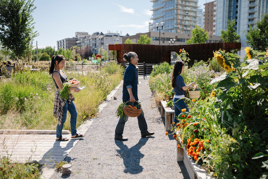 Family harvesting vegetables in sunny, urban community garden