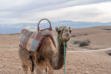 Photo sur Plexiglas Chameau Dromedary camel on Agafay desert , Marrakech, Morocco