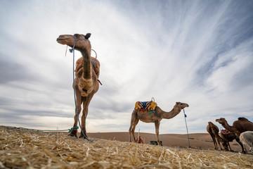 Dromedary camels on Agafay desert , Marrakech, Morocco