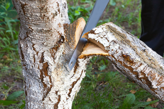 Sawing a large tree branch. Saw in blur. Sanitary pruning of diseased damaged branches. Fruit tree care concept in spring and autumn.