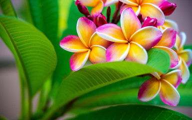 Keuken foto achterwand Frangipani Plumeria flower.Pink yellow and white frangipani tropical flora, plumeria blossom blooming on tree.