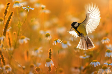 beautiful little bird yellow tit flies over a field of white Daisy flowers in Sunny summer evening with feathers and wings spread wide Fotobehang