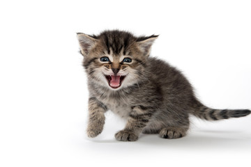 Cute tabby kitten crying Wall mural