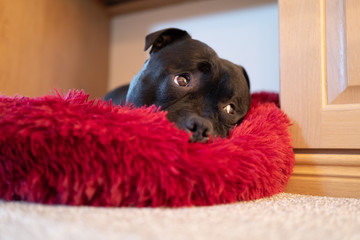 Portrait of a Staffordshire bull terrier dog lying on a soft fluffy bed with a cute raised eyebrows expression.