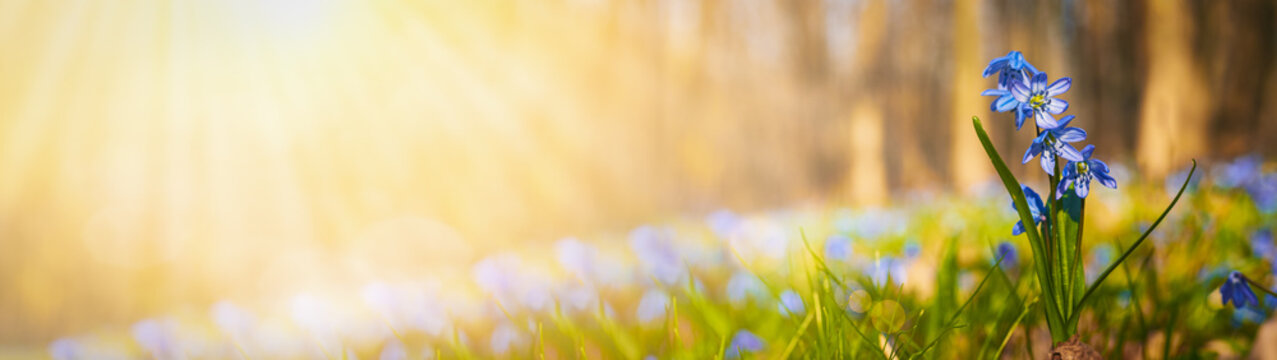 Blooming scilla flowers in the middle of forest grass web banner: springtime concept and first flowers