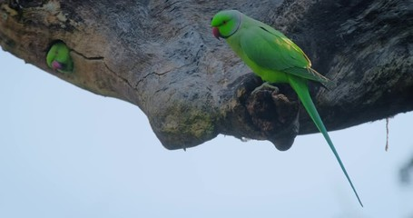 Wall Mural - Rose ringed parakeet parrot on a tree stub looking for food, Ranthambore National Park, Rajasthan. India
