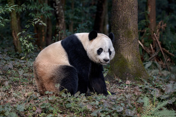 Wall Mural - Panda Bear Sitting in the Forest of Bifengxia Panda Reserve in Ya'an Sichuan Province, China. Fluffy Panda