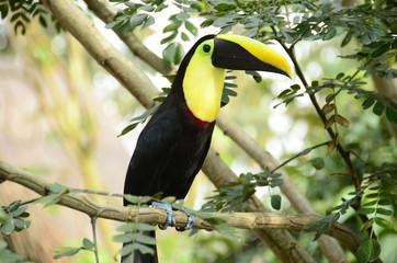 Foto op Plexiglas Toekan colorful toucan in the trees of the zoo ukumari colombia