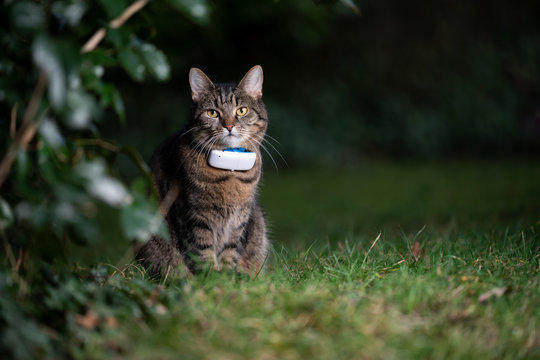 tabby domestic shorthair cat outdoors in nature wearing gps tracker attached to collar observing the garden at night looking at camera