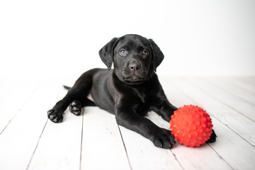 Black Labrador retriever puppy on a white background with a red ball