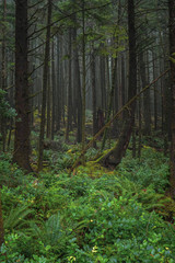 Dense Dark Lush Green Dramatic Pacific Coastal Rainforest