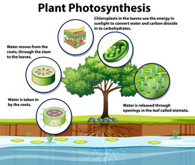 Diagram showing plant photosynthesis