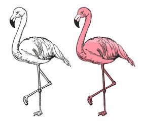 Flamingo sketch vector illustration. Black and white and color sketch flamingo, exotic bird.