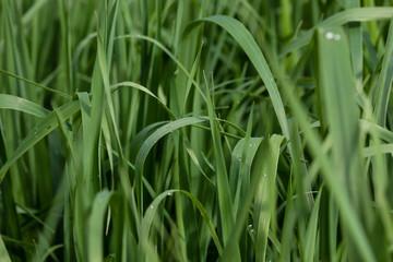 Leaves of the beer barley plant