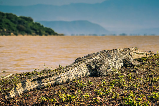 Big Nile Crocodile resting on land in ethiopia