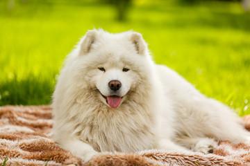 Big white samoyed dog lying. Happy pet dog looking straight. Fluffy shaggy puppy. Green background