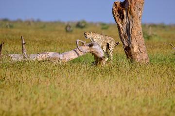 Gepard  in der Savanne im Nationalpark Tsavo Ost und Tsavo West