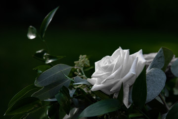 single white rose against a green background