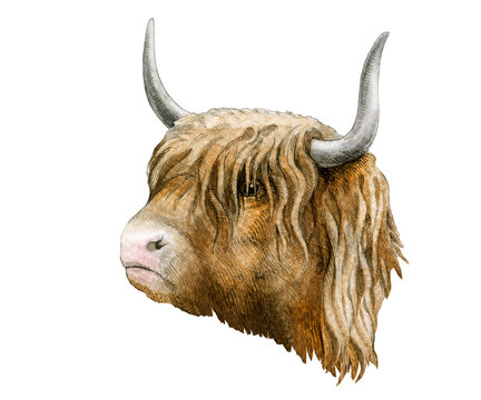 Highland cattle cow watercolor image. Hand drawn scottish farm breed close up vintage style illustration. Scotland cow with horns portrait isolated on white background.