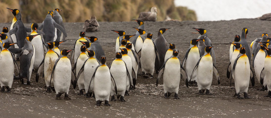 Group of King Penguins, South Georgia