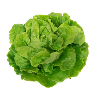 Studio shot bright green Tom Thumb lettuce isolated on white