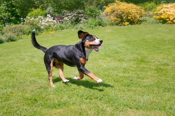 Entlebucher Mountain Dog, tricolor, running happily across a green grass meadow in a flowering garden