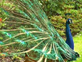Male peacock on grass