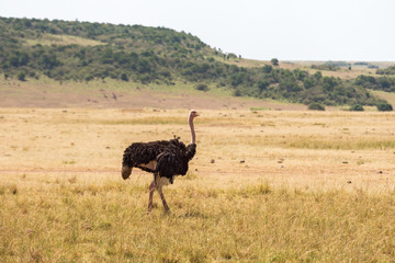 Photo sur Aluminium Autruche Ostrich walking on the savannah in Masai Mara National Park