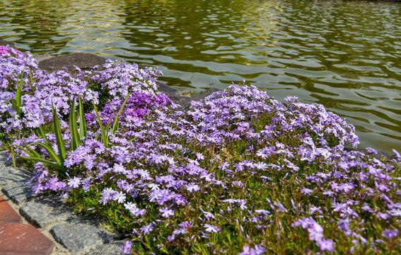 Perennial ground cover blooming plant. Creeping phlox - Phlox subulata or moss phlox grows near the lake
