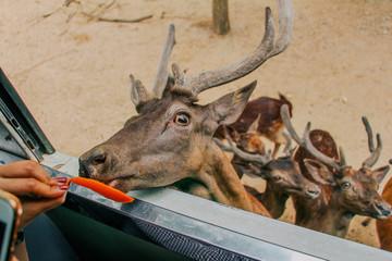 Poster Hunting Deers at zoo in Kanchanaburi